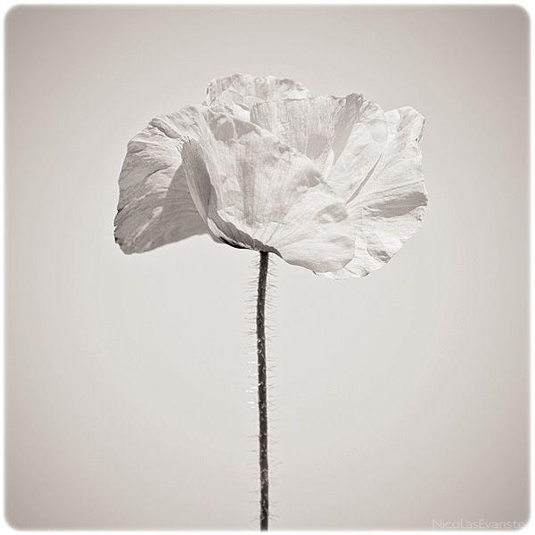 White-Poppy